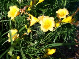 Stella D'oro Day Lily 12 by racheltorres921