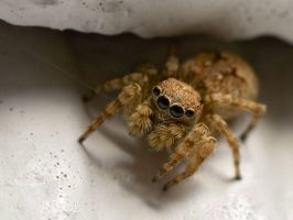 Hiding Jumping Spider by BlackHive