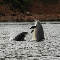 Moray Firth Fun by Shadow-and-Flame-86