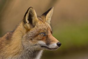 Portrait of a Fox by AngelaLouwe