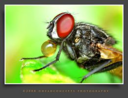 Housefly1 by dhead