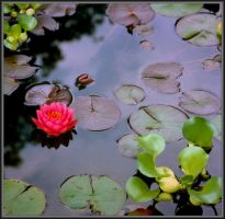 Just a pond flower by Tailgun2009