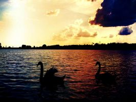 swans by VioletSuperman