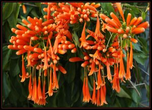 Orange Trumpet Creeper Again. by Firey-Sunset