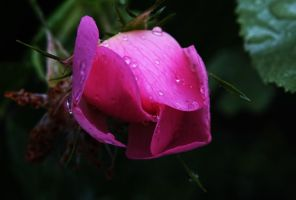 With natural rain drops by bugsbunny90