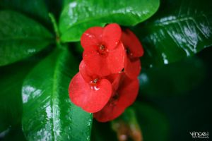 Flower and Dew Drops by vhive