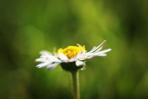Daisy fever by BlueColoursOfNature