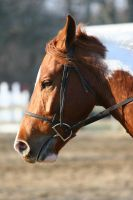 Chestnut Paint Headshot English Bridle by HorseStockPhotos