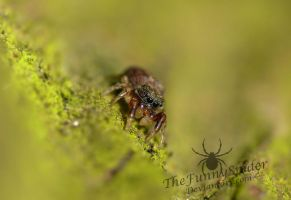 Cute Baby Jumping Spider - Unknown Species by TheFunnySpider
