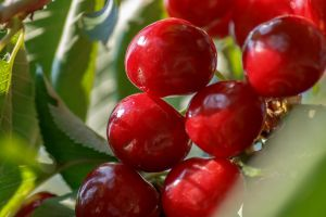 Red Cherries by sztewe