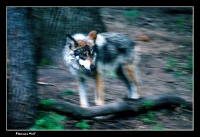 Mexican Wolf by vbgecko