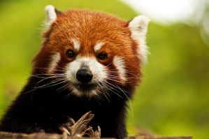 Red Panda Portrait by DanielleMiner