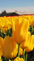 Tulip Town #3 by KRHPhotography
