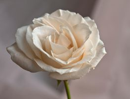 white rose by muffet1