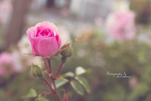 Light pink by PhotographerMW
