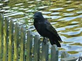 Old Crow by IdunaHaya-Stock