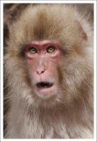 Macaque Portraits - IX by eight-eight
