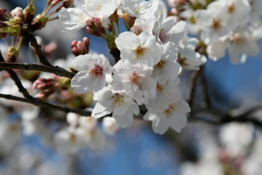 Blossoms and Blue Skies 2 by Fading-Sunlight