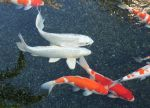 White Koi Fish by GreenEyezz-stock