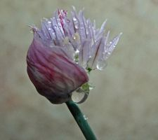 Chives Blooming by moreMDM