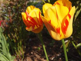 Tulips by Fraped