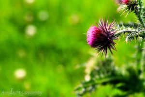 Thistle by california-wishing