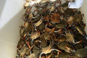 Crab Pile Stock Photo DSC 0341 by annamae22