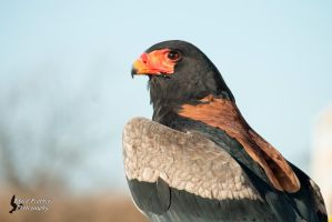 Bateleur Eagle by EdgedFeather