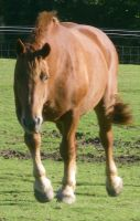 03 Suffolk Punch Walking by chaotezy