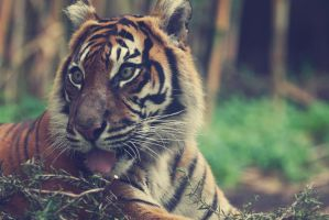 Sumatran Tiger vi by weaverglenn