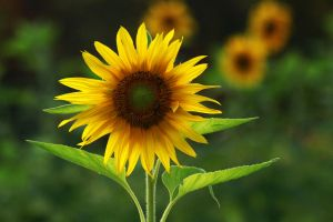 Sunflower by naturemaid