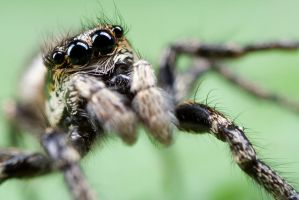 Jumping Spider 12 by Alliec