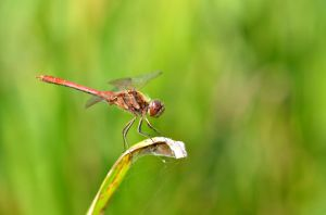 Red dragonfly by Lydiie