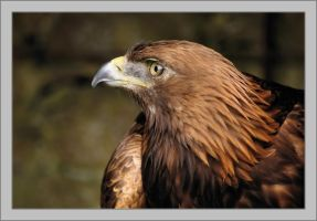 A golden eagle by Rajmund67