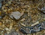 Gaboon Viper No. 1 STOCK by slephoto