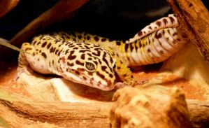 Leopard Gecko by Teuril