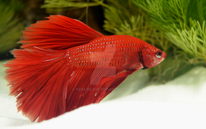 Betta Splendens by Parazelsus