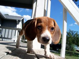Beagle by intenseblue98rt