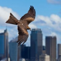 Black Kite by La-Vita-a-Bella