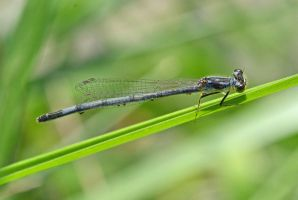 Blue Damselfly by wreckingball34