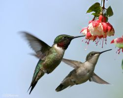 A pair of hummers by DGAnder