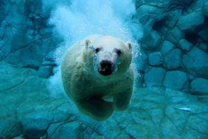 Polar Bear Dive by Snelvis
