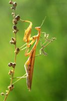 empusa vs mantis religiosa by lisans