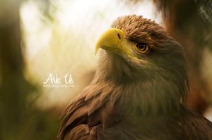 Eagle by Arkus83
