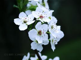 Pear Blossom by soPWNEDXcore