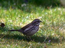 Song Sparrow by BirdyLee