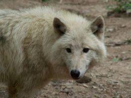 White Wolf 010 by animalphotos