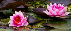 Water Lily 15 by GreyVolk