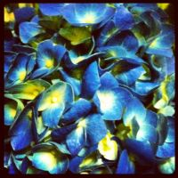 Blue Hydrangea by tastybedsore