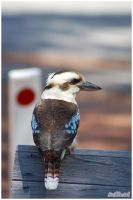 Kookaburra by truthdenied